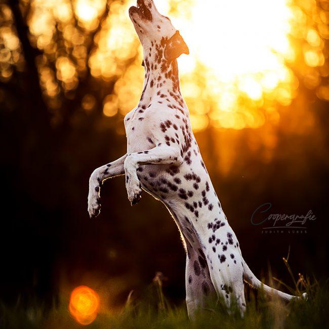 Die Dalmatinerhündin springt hoch in die Luft, wobei sich die Sonne im Hintergrund befindet