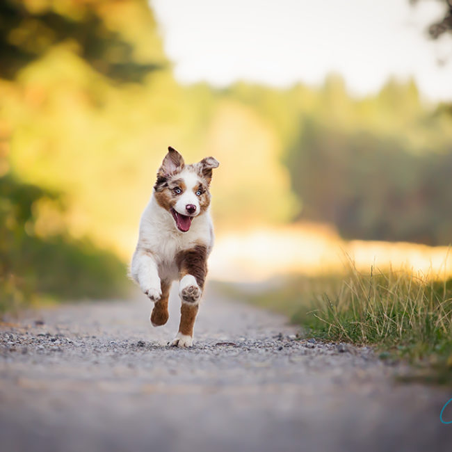 Australian Shepherd Welpe rennt im Sonnenlicht