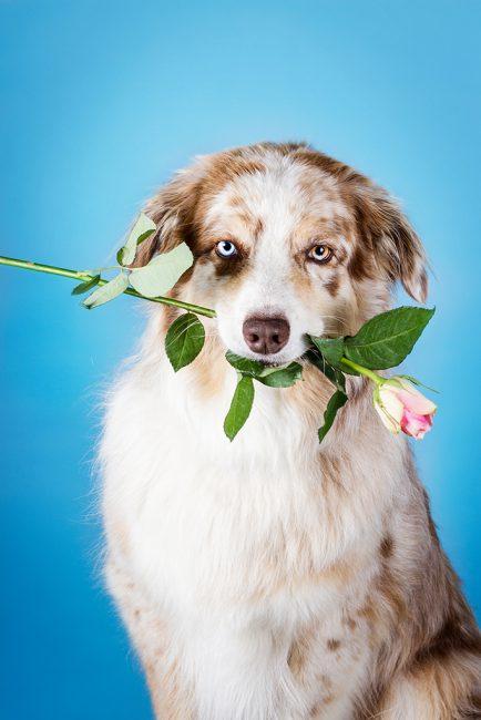 Australian Shepherd sitzt in richtung Kamera und hält eine Rose im Maul.