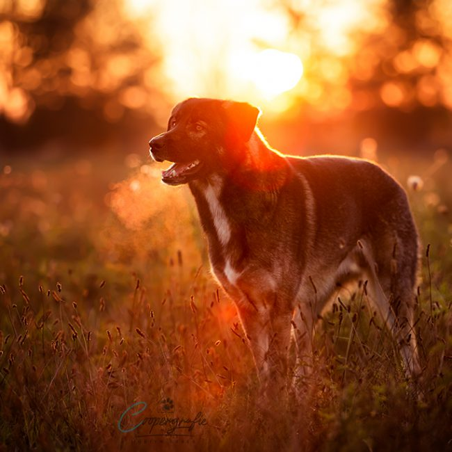 Ein Hund mit zwei verschiedenen Augenfarben steht im Gegenlicht der Abendsonne.