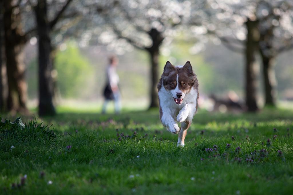 Ein Australian Shepherd rennt auf die Kamer zu. Es handelt sich um die nicht bearbeitete Version.