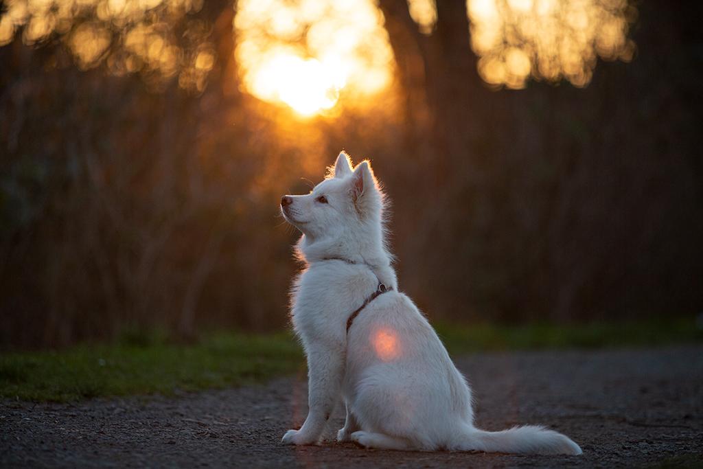 Ein Finnischer Lapphund sitzt im Gegenlicht. Es handelt sich um die nicht bearbeitete Version.
