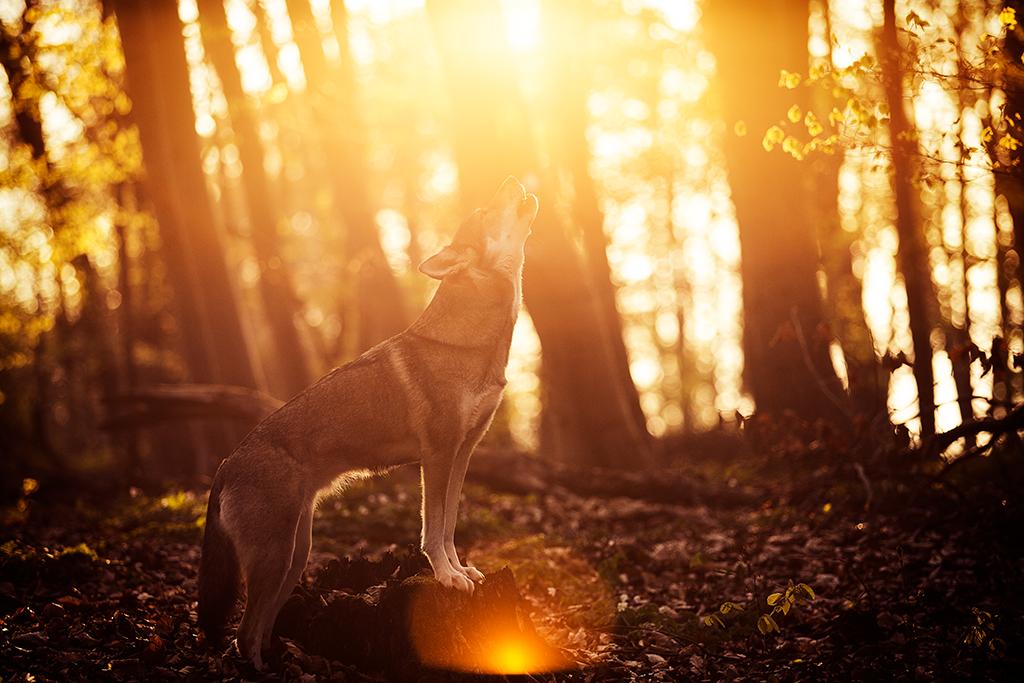 Ein Hund bzw. ein Tamaskan heult in die Gegensonne hinein.