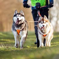 Siberian-Husky-Zughunde-Scooter2