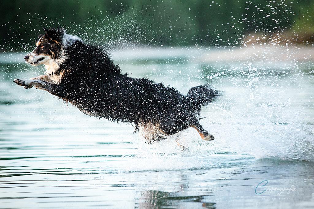 Hund springt mit Spielzeug ins Wasser