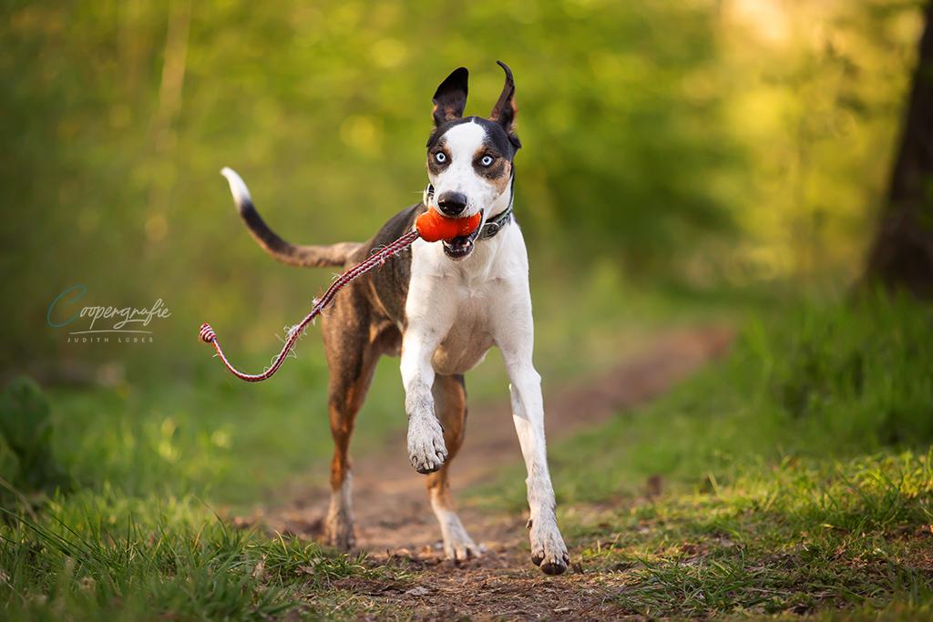 Ein europäischer Schlittenhund rennt mit seinem Lieblingsspielzeug auf mich als Fotografin zu