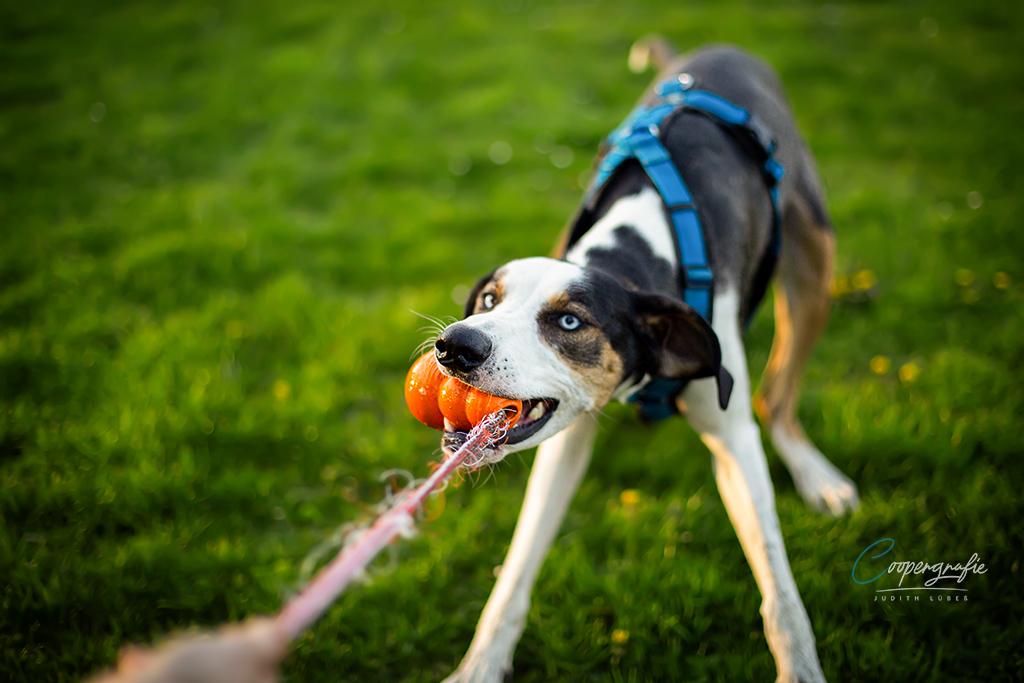 Hund zieht an einem Spielzeug, dass sich auch Zergel nennt