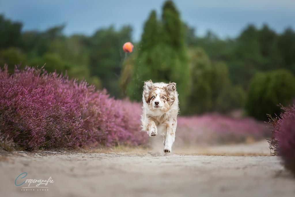Australian Shepherd der einen Ball jagt