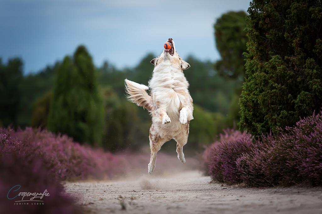 Sprung hinter einem Ball her - Hunde in Bewegung fotografieren.