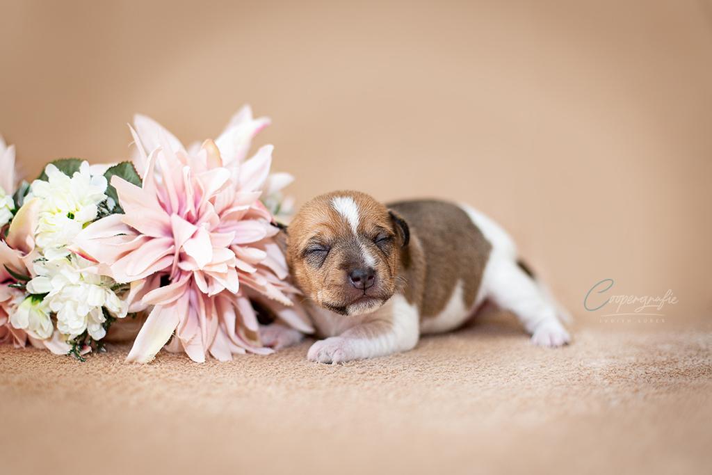 Parson Russel Terrier Welpe Hündin mit geschlossenen Augen
