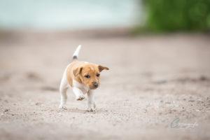 Parson Russel Terrier Welpe