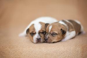Parson Russel Terrier Welpen kuscheln