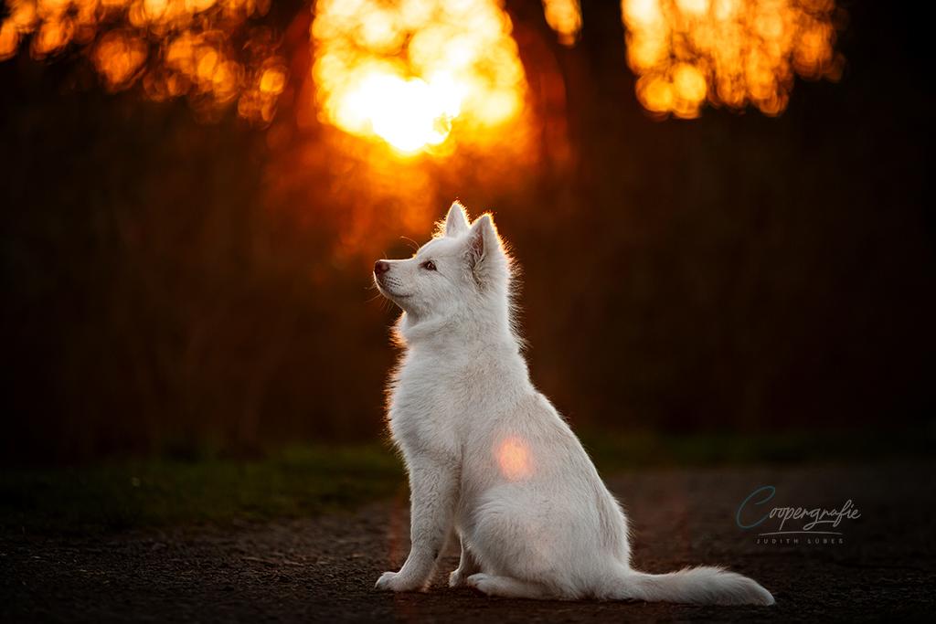 Ein Finnischer Lapphund sitzt im Gegenlicht. Es handelt sich um die bearbeitete Version.
