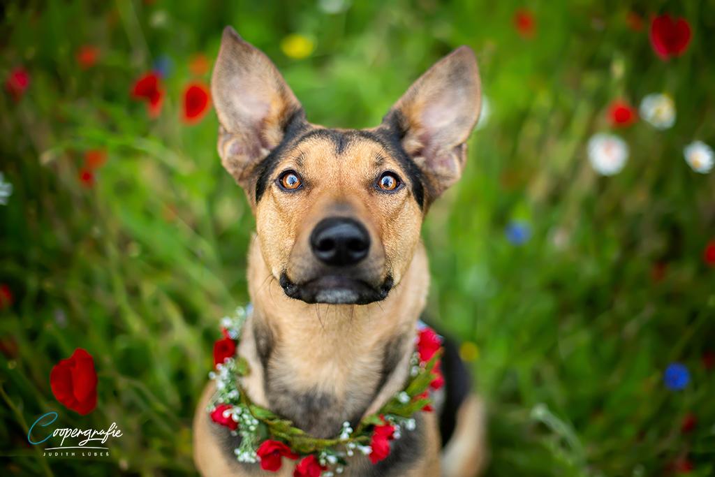 Ein Hund schaut aus dem Mohnfeld hoch