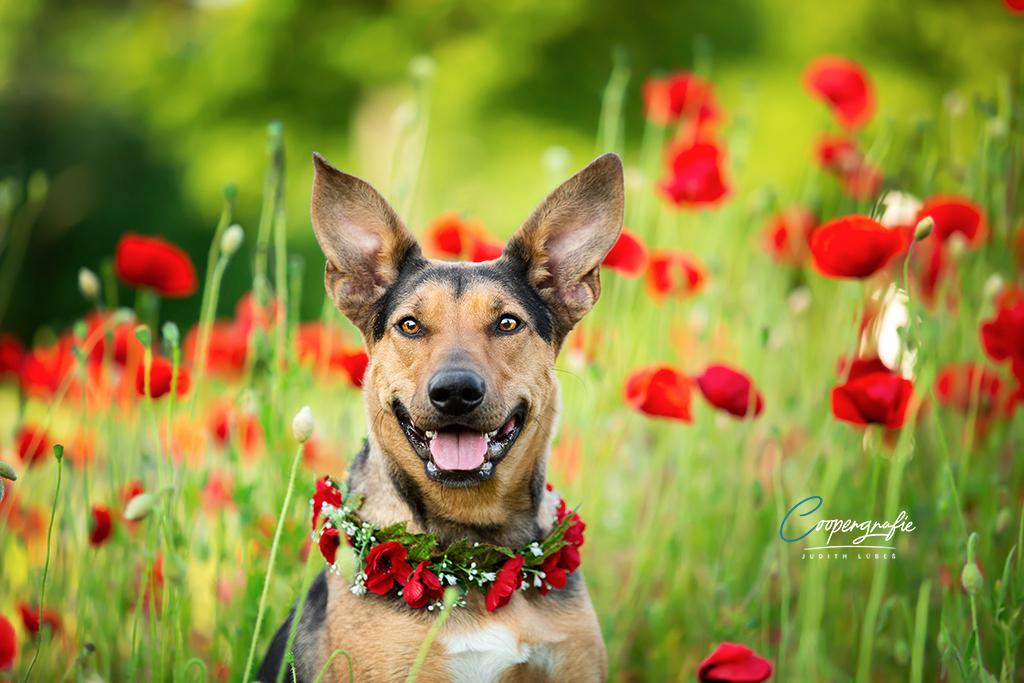 Ein Hund im Mohnfeld beim Fotoshooting in der Blumenwiese