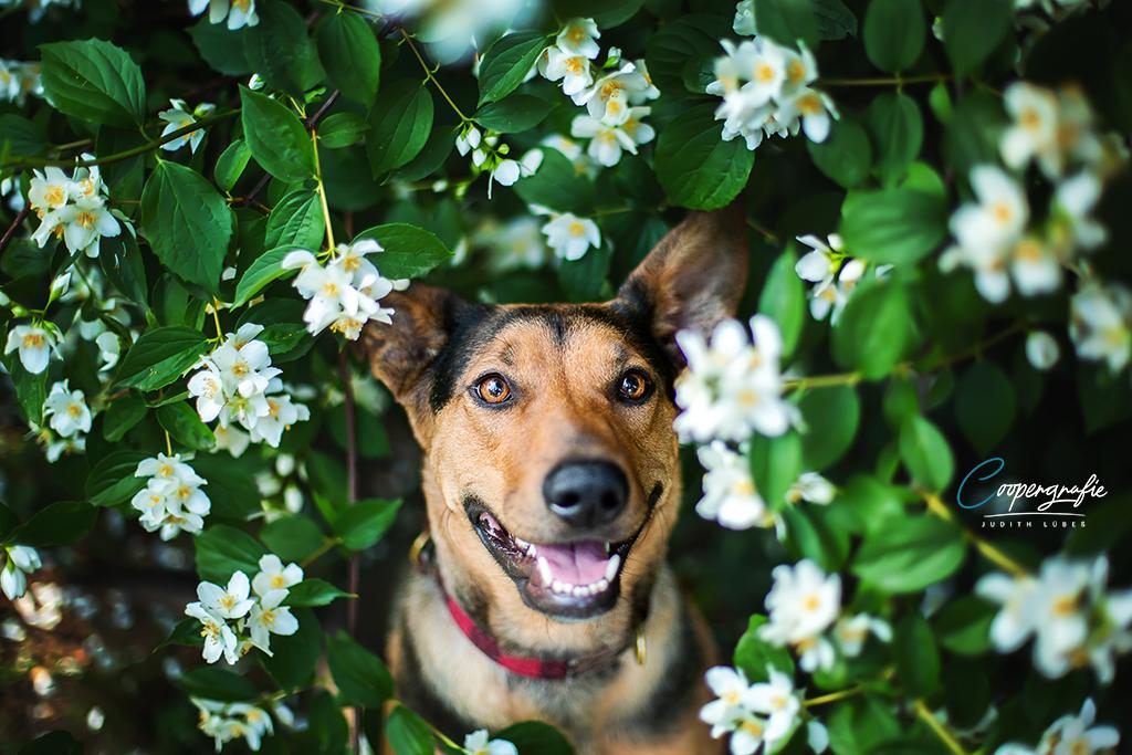 Hund im Blumenbusch beim Fotoshooting in der Blumenwiese