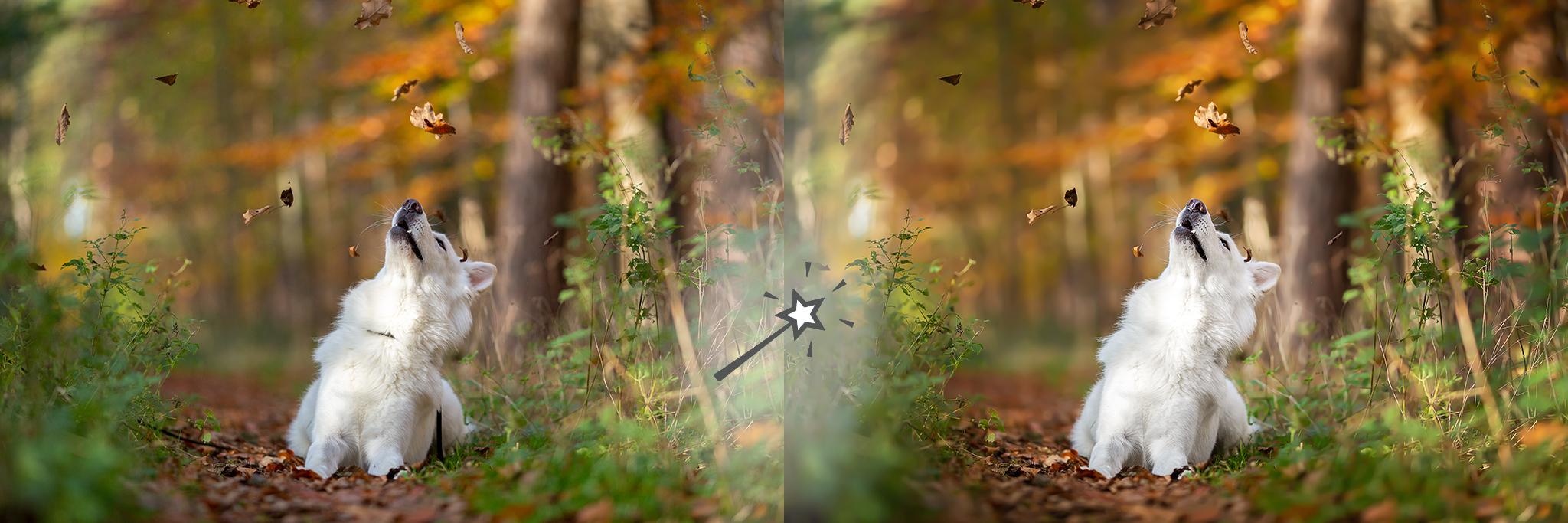 Weißer Schäferhund im Herbstwald mit Leine