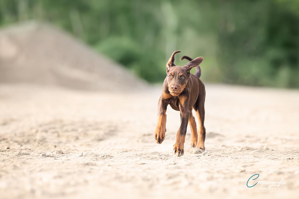 Dobermann beim Laufen
